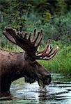 A bull moose (Alces Alces) wades for aquatic vegetation.