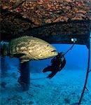 Diver and Goliath grouper.