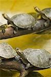 Pérou, Amazon, Amazon River. Jaune tacheté rivière tortues à Quistococha parc zoologique, Iquitos. Celui court a un pied atrophié.