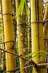 Pérou, Amazon, Amazon River. Un bosquet de bambou dans le parc zoologique de Quistococha, à Iquitos.