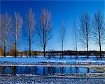Poplar trees on The River Teviot.