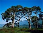 Pin sylvestre à Loch Tulla.