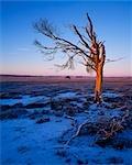 Dead tree on Greenlaw Moor.