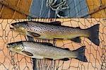 Fine brown trout caught on Loch Ba