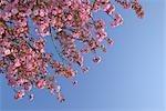 Cherry Blossom, Lake Neusiedl, Illmitz, Burgenland, Austria