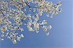 Cherry Blossom, Lake Neusiedl, Burgenland, Austria