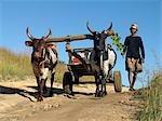A man drives his draught oxen pulling a cart along a rural road.