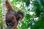 Wild orangutans in arboral settings in rainforest near Sepilok,Borneo