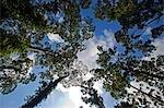 Malaisie, Bornéo, Sabah. Le modèle spectaculaire de la croissance des arbres regardant vers le ciel, près de la Station de recherche la société Danum Valley Royal