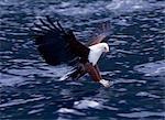 Un aigle africaines (Haliaeetus vocifer), serres tendus, descentes sur sa proie dans la rivière Shire. Bien que territoriale, ces magnifiques aigles sont nombreux à l'extrémité sud du lac Malawi, où les petits poissons cichlidés prolifèrent dans les eaux peu profondes...