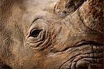 La Namibie, du Damaraland. Gros plan d'un rhinocéros blanc ou rhinocéros-photgraphies (Ceratotherium simum) qui est l'une des rares espèces de mégafaune restants.