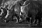 Le rhinocéros blanc ou rhinocéros-photgraphies (Ceratotherium simum) qui est l'une des rares espèces de mégafaune restants.