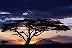 Un acacia Tortilis encadre le coucher de soleil derrière la montagne de Longido.
