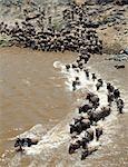 Au cours de la migration annuelle des gnous jusqu'à 1,5 millions de Serengeti (Tanzanie), à la Mara et le dos chaque année, les animaux ford ou nager dans la rivière Mara, à plusieurs reprises.