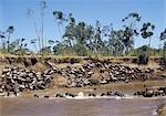 Au cours de la migration annuelle des gnous jusqu'à 1,5 millions de Serengeti (Tanzanie), à la Mara et le dos chaque année, les animaux ford ou nager dans la rivière Mara, à plusieurs reprises. Parfois, leurs lieux de passage est mal choisis, et beaucoup se noient.