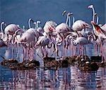 Flamants roses (Phoenicopterus ruber) sont montre plus leurs oeufs et les oisillons au lac Bogoria. Très rares occasions les oiseaux se reproduisent sur ce lac chaud et alcalin.