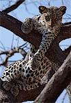 Un Leopard repose confortablement dans un arbre d'acacia morts.