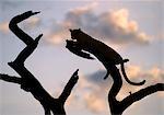 Un léopard repose sur la branche d'un arbre mort au coucher du soleil.