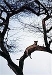 Un léopard, se reposer confortablement dans un arbre de grand acacia (Acacia tortilis), baigne dans les derniers rayons du soleil couchant.