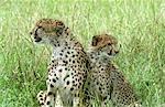 Kenya,Masai Mara. Cheetah and Cub (Acinonyx jubatus)