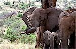 Éléphant (Loxodonta africana)