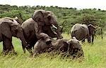 Elephants mating - January - (Loxodonta africana)
