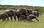 Kenya,Masai Mara. Elephants Mating - January - (Loxodonta africana)
