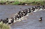Wildebeest (Connochaetes taurinus) Crossing Mara River