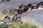Zebra (Equus burchelli) and Wildebeest (Connochaetes taurinus) crossing mara river on migration