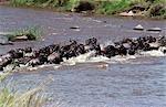 Wildebeest (Connochaetes taurinus) crossing mara river on migration