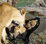 Une lionne et ses oursons. Pour les premiers six à huit semaines de leur vie, cub sera caché dans un fourré ou éperon rocheux lorsque leur mère chasse. Quand elle revient, elle attirera les sortir de la clandestinité avec un doux et rauque ' eoaw-pouah ».