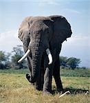 Un éléphant mâle se nourrit dans le marais de Amboseli. Garzettes voit souvent près des éléphants, nourrissent les insectes qu'ils gênent.Éléphants consomment environ 5 % de leur poids corporel (c'est à dire jusqu'à 300 kg) dans les vingt-quatre heures.