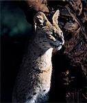 Un chat serval bénéficie de soleil fin d'après-midi dans le Parc National d'Aberdare. .