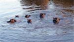 En fin d'après-midi, les hippopotames se prélasser dans la rivière Mara. Ces vastes animaux ont une société très hiérarchisée. Elles broutent la nuit, manger autant que 60 kg d'herbe en environ cinq heures. Aucun animal domestique ne peut rivaliser avec eux pour l'économie, avec qui ils convertissent la végétation dans les protéines animales.