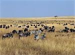 White-bearded gnus,or wildebeest,and Burchell's zebras graze the open grassy plains in Masai Mara.