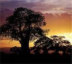 Baobabs géants silhouettés sur un coucher de soleil.
