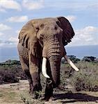 Un éléphant mâle dans le Parc National Amboseli. Éléphants consomment l'équivalent d'environ 5 % de leur poids corporel (c'est à dire jusqu'à 300 kg) dans les vingt-quatre heures.