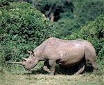 Un rhinocéros noir avec une corne fine traverse une clairière de la forêt dans le Parc National d'Aberdare. .