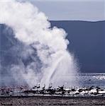 Les eaux alcalines du lac Bogoria sont un repaire favori des flamants, parce que les algues bleu - vert sur lesquels elles se nourrissent pousse abondamment dans les eaux peu profondes du lac. Le rivage stérile est parsemé de jets de vapeur et geysers, fidèle à ses origines volcaniques.