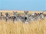 Un troupeau de Burchell ou zèbre commun dans les plaines herbeuses du Masai Mara Game Reserve. Plusieurs mille zèbres accompagnent gnous ou gnu barbe blanche pendant la migration annuelle de la Serengeti Parc National du Nord de la Tanzanie à Masai Mara vers la fin de juillet.