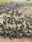 Un grand troupeau de gnous et de Burchell zebra descendu boire de l'eau à la rivière de sable, à proximité de la frontière du Parc National du Serengeti et Masaï Mara Game Reserve.