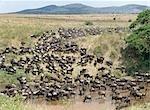 Un grand troupeau de gnous et de Burchell zebra descendu boire de l'eau à la rivière de sable, à proximité de la frontière du Parc National du Serengeti et la réserve Masai Mara, Kenya