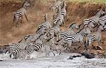 Kenya, Masai Mara, Masai Mara Game Reserve. Un troupeau de panique de zèbres (Equus quagga) commun à la rivière Mara.