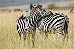 Kenya, Masai Mara, Masai Mara Game Reserve. Deux zèbres communs (Equus quagga) reposent la tête sur le dos de l'autre.