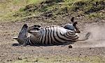 Kenya, Masai Mara, Masai Mara Game Reserve. Un zèbre commun (Equus quagga) roule dans la poussière pour se protéger contre les parasites et les insectes piqueurs.