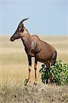 Kenya, Masai Mara, Masai Mara Game Reserve. Un topi (Damaliscus korrigum) se dresse sur une termitière de surveiller son territoire.