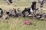 Kenya,Maasai Mara,Narok district. A cheetah sees off vultures which encroach on its kill in the Masai Mara National Reserve of Southern Kenya.