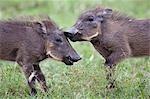 Kenya,Narok district,Masai Mara. Two warthog piglets play in Masai Mara National Reserve.