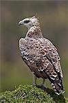 Kenya,Narok district,Masai Mara. A Martial eagle in Masai Mara National Reserve.