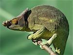 A Parson's chameleon (Chamaeleo parsonii).